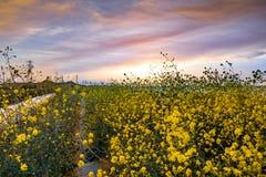 Trajeto de passeio coberto de vegetação com os wildflowers do negro do Brassica da mostarda preta, céu colorido do por do sol; Ár imagem de stock royalty free