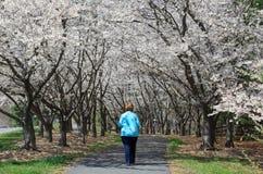 Trajeto de passeio da mulher sob o dossel de Cherry Trees Reston VA foto de stock