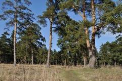Trajeto do pé na floresta da mola Fotos de Stock