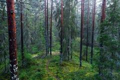 Trajeto em uma floresta do pinho foto de stock royalty free