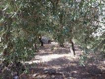 Trajeto entre oliveiras Fotos de Stock Royalty Free