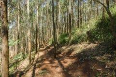 Trajeto Forest Plantation das árvores Foto de Stock Royalty Free