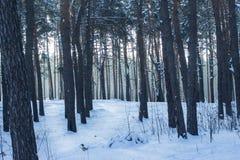 Trajeto nevado brilhante em uma floresta fantástica do pinho com árvores altas Foto de Stock Royalty Free
