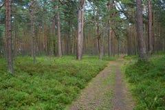 Trajeto no bosque do pinho Foto de Stock Royalty Free