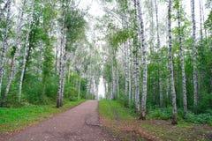 Trajeto no bosque do vidoeiro Foto de Stock Royalty Free