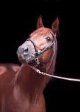 栗色在黑背景的Trakehner公马画象  免版税库存照片