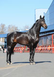 Trakehner black stallion. At an exhibition a sunny day Stock Photography