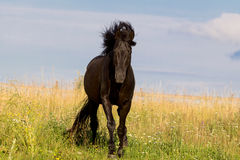 Trakehner black stallion. Walk in field Royalty Free Stock Photo