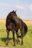 Trakehner black stallion. In field Stock Photography