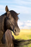 Trakehner black stallion Royalty Free Stock Photos