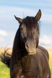Trakehner black stallion. Horse mimicry Stock Images