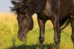 Trakehner black stallion. Stay in field and shake Royalty Free Stock Image