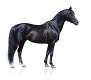Trakehner black stallion. Isolated on white Royalty Free Stock Photo