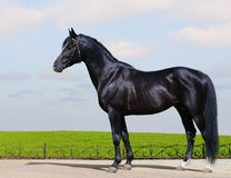 Trakehner black stallion Stock Photos