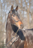 Trakehner black stallion, portrait Royalty Free Stock Image