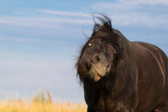 Trakehner black stallion shake Royalty Free Stock Images