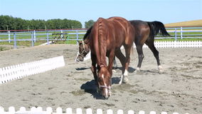 Trakehner breed and Polish mongrel horse in stock video footage