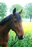 Trakehner with bridle Royalty Free Stock Images