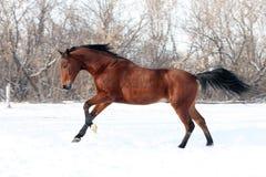 Trakehner hingst som galopperar över en snowfield Royaltyfri Bild