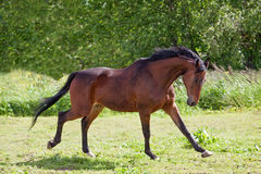 Trakehner horse Royalty Free Stock Photo