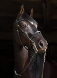 Trakehner Horse with classic bridle on dark background Stock Images