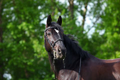 Trakehner horse with classic bridle on dark green background Royalty Free Stock Images
