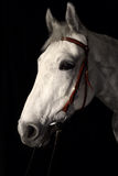 Trakehner horse with classic bridle. White trakehner horse with classic bridle, low key portrait Stock Photos