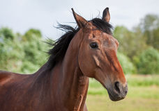 Trakehner horse. Closeup portrait of a beautiful Trakehner horse Royalty Free Stock Image