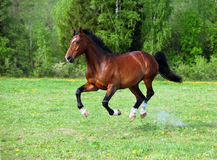 Trakehner horse galloping. Amazing bay stallion galloping through pasture along fence line with trees in background Royalty Free Stock Photography