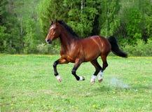 Trakehner horse galloping Royalty Free Stock Photography