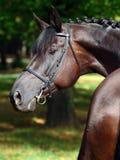 Trakehner horse low key studio portrait. Portrait of a bay thoroughbred stallion on dark bushes background Royalty Free Stock Photo