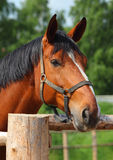 Trakehner horse in paddock. Amazing bay stallion head on green bushes background Royalty Free Stock Photography