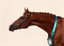 Trakehner horse portrait in light background. Trakehner horse portrait in light wall background Royalty Free Stock Image