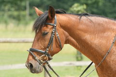 Trakehner horse riding. Brown Trakehner horse is riding Royalty Free Stock Photography
