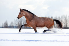 Horse. Trakehner light-bay mare in snow field Royalty Free Stock Photos
