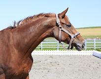 Trakehner mare breed. Beautiful portrait Royalty Free Stock Photography
