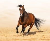 Trakehner Rotschacht Farbe Stallion in der Bewegung Stockfoto