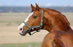 Trakehner Sauerampfer Stallion Stockbild