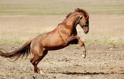 Trakehner Sauerampfer Stallion Stockbilder