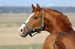 Trakehner sorrel stallion Stock Image
