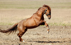 Trakehner sorrel stallion. The trakehner sorrel stallion gallops on a field Stock Images