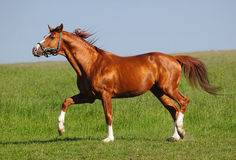 Trakehner sorrel stallion. The trakehner sorrel stallion trots on a field Royalty Free Stock Photography