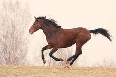 Trakehner stallion Royalty Free Stock Photos