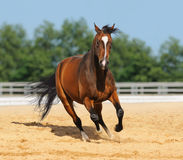 Trakehner stallion on arena. Trakehner stallion in motion on arena Stock Image