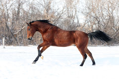 Trakehner stallion galloping across a snowfield Royalty Free Stock Image