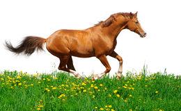 Trakehner stallion gallops in field Stock Photos