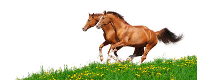 Trakehner stallions gallop in field. Two trakehner sorrel stallions gallop in field - isolated on white Stock Photos