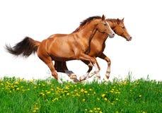 Trakehner Stallionsgalopp auf dem Gebiet Lizenzfreies Stockbild