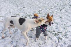 Trakenów ukąszeń psa duży basenji zakrywał gazon podczas gdy bawić się plenerowy na śniegu Obrazy Royalty Free