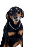 Trakenu śmieszny mieszany pies Zdjęcia Stock